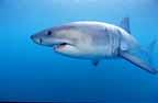 Darwinscrewmates1a Great White Shark